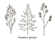 Set of ink drawing cereals, wild plants, field herbs, Detailed botanical illustration of wild cereals. Monochrome floral Royalty Free Stock Photo