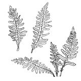Set of ink drawing fern leaves. Fern leaves set, ink pen drawing herbs, vintage style botanical illustration,  monochrome black line drawing floral set, hand Stock Photo