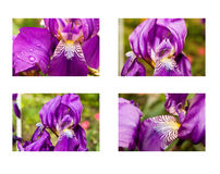 Set of iris flowers. Set of four purple  iris flowers with green backgound Stock Image