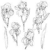 Set of iris flowers sketch Stock Photos