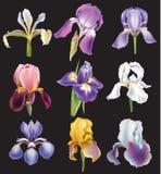 Set Irysowi kwiaty Zdjęcia Royalty Free