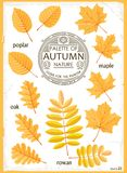 Set of isolated Autumn leaves Royalty Free Stock Photography