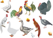 Set of isolated color farm birds Royalty Free Stock Photography