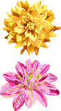 Set  2 isolated flowers of dahlia Royalty Free Stock Photos