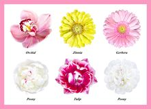 Set of isolated flowers: pink orchid, green zinnia, pink gerbera, white peonies; purple tulip. A set of six isolated flowers: a pink orchid, green zinnia, pink royalty free stock photos