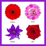 Set of isolated flowers: red gerbera, pink peony, purple clematis, red rose. Set of four isolated flowers: red gerbera, pink peony, purple clematis, red rose stock photography