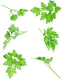 Set of the isolated green fresh parsley's leaf. Set of the isolated green, fresh parsley's leaf Royalty Free Stock Photography
