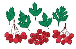 Set isolated plant elements hawthorn. leaves and bunches of ripe berries of Crataegus or Haw.  Vector Illustration