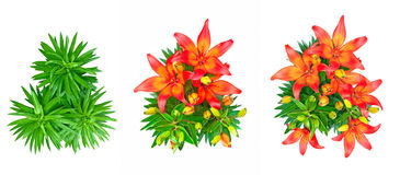 Set of 3 isolated red lily flowers Stock Photo