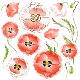 Set of isolated Red Poppy Flowers Stock Images