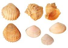Set of isolated seashells. Set of isolated sea shells in white background royalty free stock image