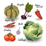 Set of isolated vegetables. Cabbage and squash, beets and tomatoes, onion and garlic on white. Vector illustration Stock Image