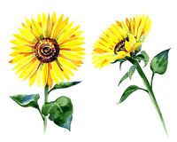 Set of isolated watercolor sunflowers Stock Images