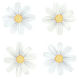 Set of isolated, white camomile, daisy. Vector flowers on white background. Template for for t-shirt, fashion, prints Stock Photos