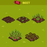 SET 10. Isometric Stage of growth Beet. SET 10. Isometric Stage of growth vegetables. Beet in vector for playing a perspective. game element Royalty Free Stock Photography