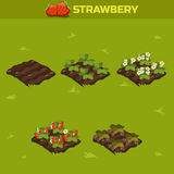 SET 13. Isometric Stage of growth berries. Red strawberry stock illustration