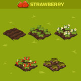 SET 13. Isometric Stage of growth berries. Red strawberry Royalty Free Stock Photography