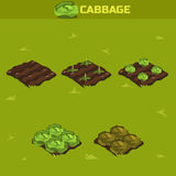 SET 12. Isometric Stage of growth Cabbage. SET 12. Isometric Stage of growth vegetables. Cabbage in vector for playing a perspective. game element vector illustration