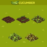 SET 3. Isometric Stage of growth Cucumber Royalty Free Stock Images