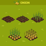 SET 8. Isometric Stage of growth Onion Stock Photo