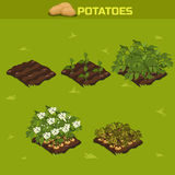 SET 11. Isometric Stage of growth Potatoes Stock Photos
