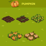 SET 5. Isometric Stage of growth Pumpkin Royalty Free Stock Photography