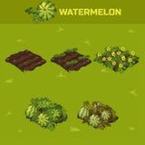 Set 4 Isometrisches Stadium des Wachstums Waterrmelon Stockbilder
