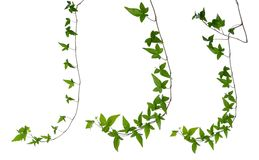 Set of ivy stems isolated over white. Royalty Free Stock Images