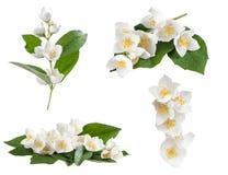 Set jaśminowi kwiaty Zdjęcie Royalty Free