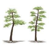 Set of japanese pine trees, vector illustration on white Stock Photography