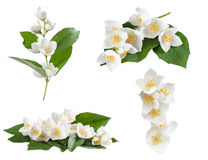 Set of jasmine flowers royalty free stock photo