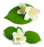 Set of jasmine flowers (mock-orange, Philadelphus) Stock Photos