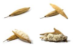 Set kapok, Biały jedwabniczej bawełny tree& x28; Ceiba pentandra & x28; L & x29; Gaertn Wong& x29; Bombacaceae Kapoków ziarna Obrazy Royalty Free