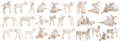 Set kids of a goat, isolated Royalty Free Stock Photos