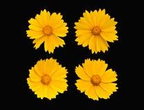 Set kolorów żółtych kwiaty odizolowywający na czarnym tle Obraz Stock