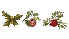 Set kolorowi jesień liście, owoc odizolowywający na białym tle i Apple, rowan, dąb Szczegółowa ręka rysująca wektorowa ilustracja ilustracji