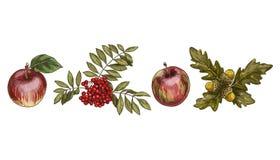 Set kolorowi jesień liście, owoc odizolowywający na białym tle i Apple, rowan, dąb Szczegółowa ręka rysująca wektorowa ilustracja royalty ilustracja