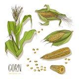 Set kukurydzana roślina Kolorowa ręka rysująca inkasowa kukurydza również zwrócić corel ilustracji wektora ilustracja wektor