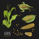 Set kukurydzana roślina Kolorowa ręka rysująca inkasowa kukurydza Wektorowa ilustracja na czarnym tle ilustracja wektor