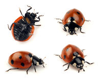 Set of lady bug shots Stock Image