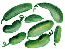 Set of large greenhouse cucumbers. Set large cucumbers pieces of eight on white background, grew up under the scorching southern sun. Hand drawn, watercolor Royalty Free Stock Image
