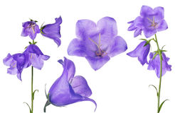 Set of large violet bellflowers isolated on white Stock Photo