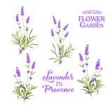 Set of lavender flowers elements. Botanical illustration. Collection of lavender flowers on a white background. Lavender hand drawn. Lavender flowers isolated vector illustration