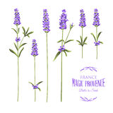 Set of lavender Stock Photography