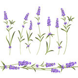 Set of lavender. Stock Photography