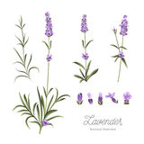 Set of lavender flowers elements. Collection of lavender flowers on a white background. Lavender hand drawn. Watercolor lavender set. Lavender flowers isolated Stock Photography