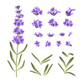 Set of lavender flowers elements. Collection of lavender flowers on a white background. Vector illustration bundle Royalty Free Stock Images