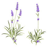 Set of lavender flowers. Elements. Collection of lavender flowers on a white background. Vector illustration bundle Stock Photography