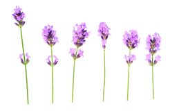 Set of lavender flowers elements on a white background, isolated. Set of lavender flowers elements. Collection of lavender flowers on a white background. Top royalty free stock photos