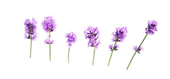 Set of lavender flowers elements on a white background, isolated. Set of lavender flowers elements. Collection of lavender flowers on a white background. Top royalty free stock images